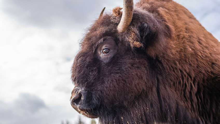 Arizona: Public Comment Being Sought for Bison Management in Grand Canyon National Park